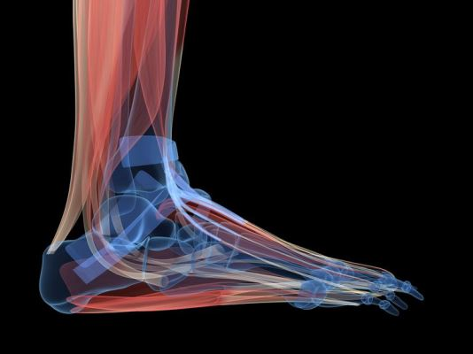 Има много мускули, които прекосяват глезена, включително гастрономни, солеуси, задни тибиални, плантарни флексори и перонеуси. Всеки мускул допринася както за преместването на глезена, така и за стабилизирането му.