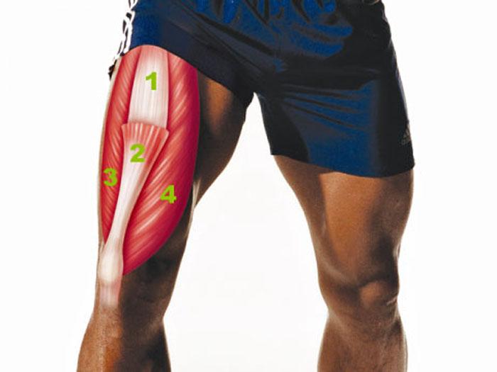 Квадрицепсът е най-големият мускул в тялото, наричан още четириглав мускул на бедрото.